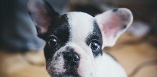 hond-als-huisdier